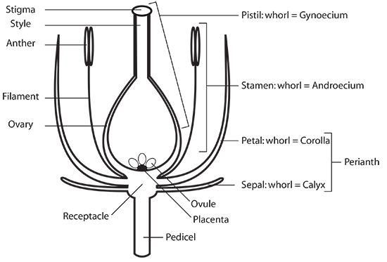 anthophyta  laboratory notes for bio 1003