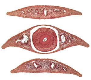 Platyhelminthes planaria cefalizáció. 10. A puhatestű-fajta általános jellemzői